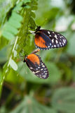 mating pipevine swallowtails Royaltyfria Foton