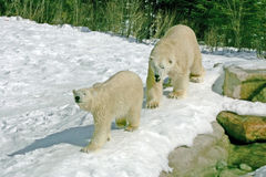 Mating polar bears. The 24 year old male was trying to mate with the 6 year old female Royalty Free Stock Image