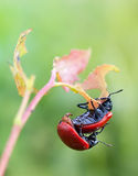 Mating poplar leaf beetle Stock Photography