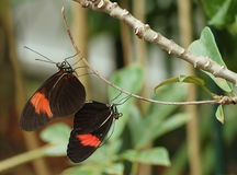 Mating Postman butterflies Stock Images
