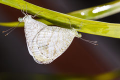 Mating of the Psyche butterfly Stock Photography