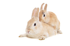 Mating rabbits. All on white background stock photos