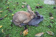 Mating rabbits Royalty Free Stock Photography