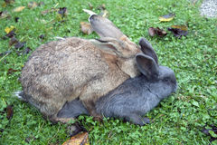 Mating rabbits Royalty Free Stock Image