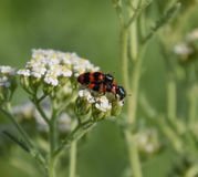 Mating of red beetles on white inflorescences of celandine Royalty Free Stock Photos