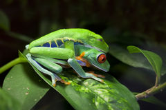 Mating Red Eyed Tree Frogs Stock Photos