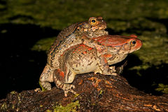 Mating red toads Stock Photos