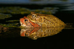 Mating red toads Royalty Free Stock Images