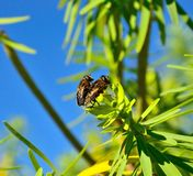 Mating ritual of bees on green leaves of euphorbia Stock Photography