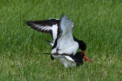 Mating ritual of two oystercatchers. Close-up of a mating ritual of two oystercatchers Royalty Free Stock Image