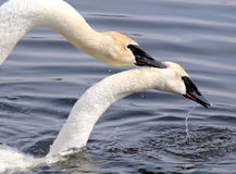 The Mating Ritual Of Two Trumpeter Swans Royalty Free Stock Images