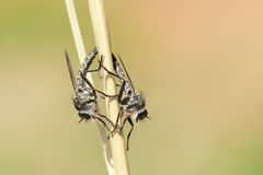 Mating robber fly Royalty Free Stock Images