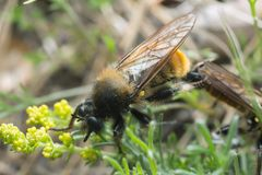 Mating robberflies, Laphria flava Stock Photography