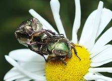 Mating rose chafer (Cetonia aurata) Royalty Free Stock Images