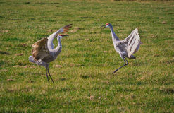 Mating sandhill cranes dance in the air Stock Image