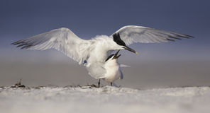 Mating sandwich terns (Thalasseus sandvicensis) on Florida beach. Two love birds share an intimate moment among the tourists on a beach in the Sunshine State of Stock Photography