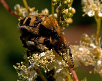 Mating Scarab beetle, Trichius fasciatus Royalty Free Stock Image