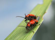 Mating scarlet lily beetles, lilioceris, lilii on lily leaf Royalty Free Stock Photos