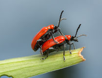 Mating scarlet lily beetles, lilioceris, lilii on lily leaf Royalty Free Stock Image