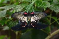Mating Scarlet Mormon butterflies. Stock Photos