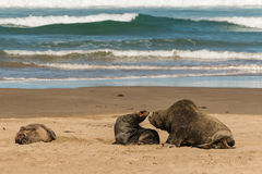 Mating sea lions Stock Photography