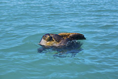 Mating sea turtles Royalty Free Stock Photography