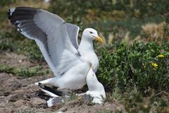 Mating Seagulls Royalty Free Stock Images