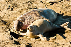 Mating Seals Stock Image