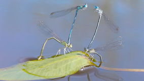 Mating season of dragonflies. Macro shot of mating dragonflies stock footage