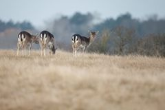 Fallow deer. Mating season and the male fallow deer are at there biggest with there beautiful antlers Royalty Free Stock Image
