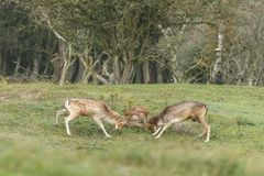 Fallow deer fight during mating season Royalty Free Stock Photography