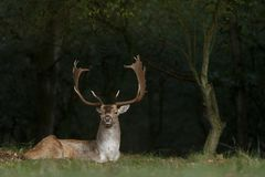 Fallow deer during mating season. Mating season and the male fallow deer are at there biggest with there beautiful antlers Stock Photography