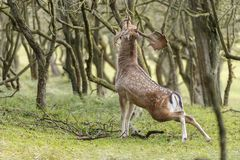 Fallow deer during mating season. Mating season and the male fallow deer are at there biggest with there beautiful antlers Royalty Free Stock Images