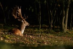 Fallow deer during mating season. Mating season and the male fallow deer are at there biggest with there beautiful antlers Stock Images