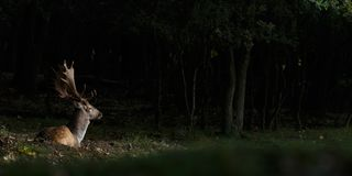Fallow deer during mating season. Mating season and the male fallow deer are at there biggest with there beautiful antlers Royalty Free Stock Photography