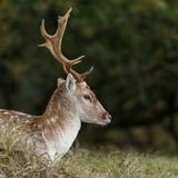 Fallow deer during mating season. Mating season and the male fallow deer are at there biggest with there beautiful antlers Stock Image