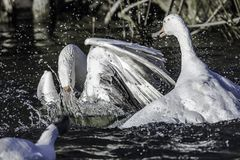 Mating season in UK pond. Wildlife photography.Two male gooses fighting for territory splashing water around during mating season in british lake in springtime stock photo