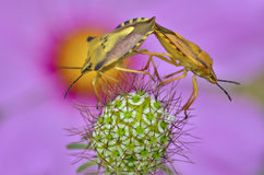 Mating of shield bugs Royalty Free Stock Photo