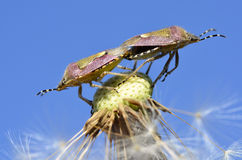 Mating of shield bugs on dandelion seed Royalty Free Stock Images