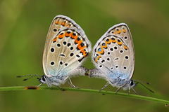 Mating silver-studded blue butterflies Royalty Free Stock Images