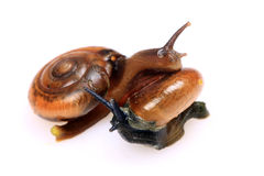 Mating snails royalty free stock photography