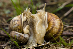 Mating Snails. Two Snails mating against a natural background Royalty Free Stock Image
