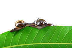 Mating snails Stock Images