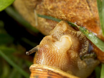 Mating Snails 2 Stock Photos