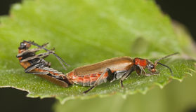 Free Mating Soldier Beetles. Royalty Free Stock Photos - 14610178
