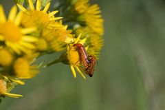 Mating Soldier beetles Stock Images
