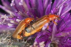 Mating soldier beetles, Rhagium fulva Royalty Free Stock Photography