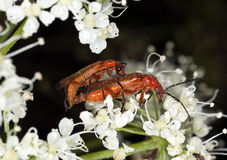 Mating soldier beetles (Rhagonycha fulva) Stock Images