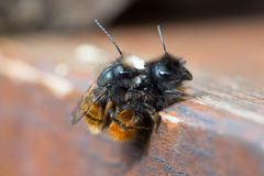 Mating solitary bees Stock Photos