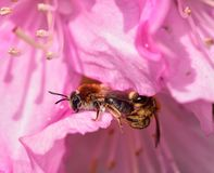 Mating Solitary Bees Stock Photography